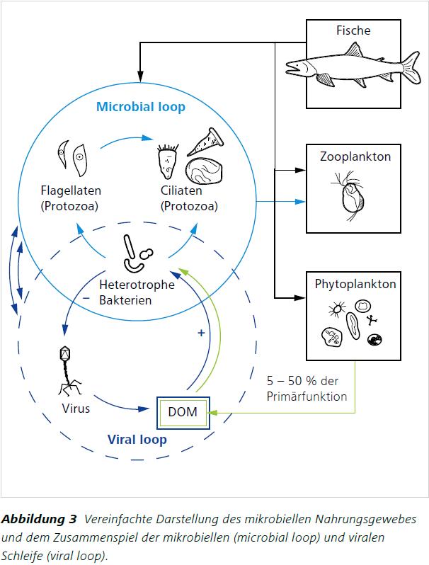 Abbildung 3 Vereinfachte Darstellung des mikrobiellen Nahrungsgewebes und dem Zusammenspiel der mikrobiellen (microbial loop) und viralen Schleife (viral loop).