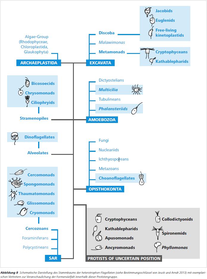 Abbildung 8 Schematische Darstellung des Stammbaums der heterotrophen Flagellaten (siehe Bestimmungsschlüssel von Jeuck und Arndt 2013) mit exemplarischen Vertretern zur Veranschaulichung der Formenvielfalt innerhalb dieser Protistengruppe.