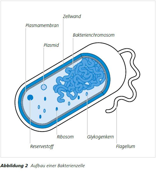 Abbildung 2 Aufbau einer Bakterienzelle