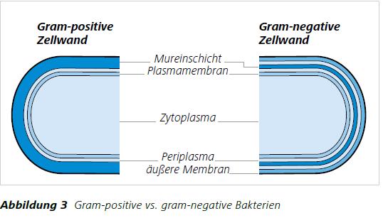 Abbildung 3 Gram-positive vs. gram-negative Bakterien