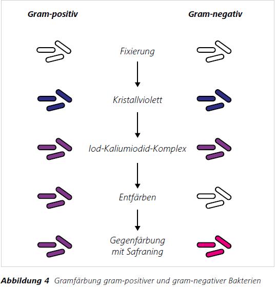 Abbildung 4 Gramfärbung gram-positiver und gram-negativer Bakterien