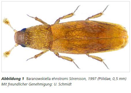 Abbildung 1 Abbildung 1 Baranowskiella ehnstromi Sörensson, 1997 (Ptilidae, 0,5 mm) Mit freundlicher Genehmigung: U. Schmidt