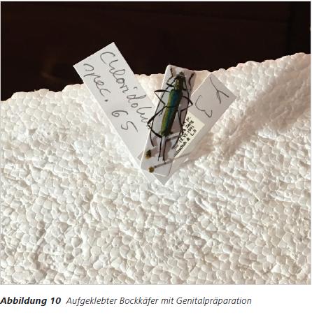 Abbildung 10 Aufgeklebter Bockkäfer mit Genitalpräparation