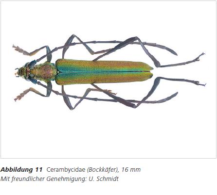 Abbildung 11 Cerambycidae (Bockkäfer), 16 mm Mit freundlicher Genehmigung: U. Schmidt