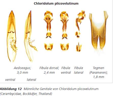 Abbildung 12 Männliche Genitale von Chloridolum plicovelutinum (Cerambycidae, Bockkäfer, Thailand)