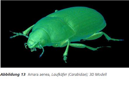 Abbildung 13 Amara aenea, Laufkäfer (Carabidae); 3D Modell