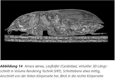 Abbildung 14 Amara aenea, Laufkäfer (Carabidae); virtueller 3D Längsschnitt in Volume Rendering Technik (VRT), Schnittebene etwa mittig, Anschnitt von der linken Körperseite her, Blick in die rechte Körperseite