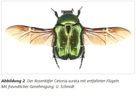 Abbildung 2 Der Rosenkäfer Cetonia aurata mit entfalteten Flügeln Mit freundlicher Genehmigung: U. Schmidt