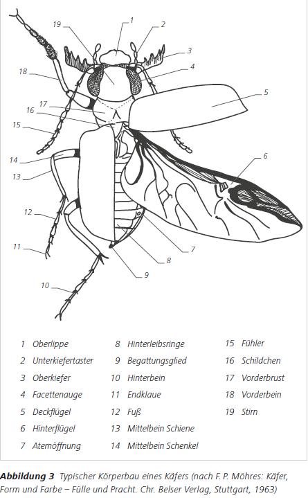 Abbildung 3 Typischer Körperbau eines Käfers (nach F. P. Möhres: Käfer, Form und Farbe – Fülle und Pracht. Chr. Belser Verlag, Stuttgart, 1963)