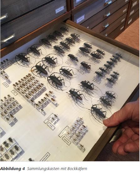 Abbildung 4 Sammlungskasten mit Bockkäfern