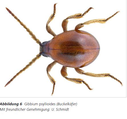 Abbildung 6 Gibbium psyllioides (Buckelkäfer) Mit freundlicher Genehmigung: U. Schmidt