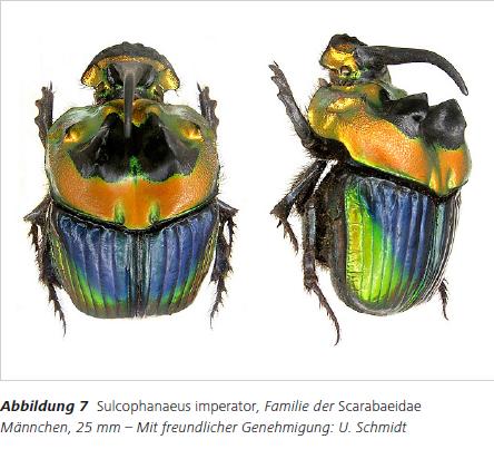 Abbildung 7 Sulcophanaeus imperator, Familie der Scarabaeidae Männchen, 25 mm – Mit freundlicher Genehmigung: U. Schmidt