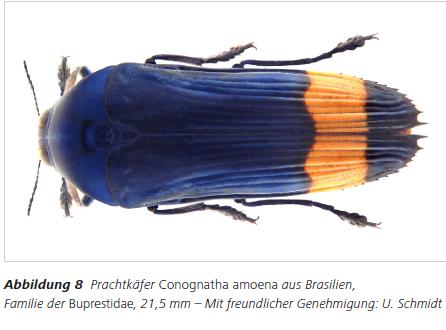 Abbildung 8 Prachtkäfer Conognatha amoena aus Brasilien, Familie der Buprestidae, 21,5 mm – Mit freundlicher Genehmigung: U. Schmidt