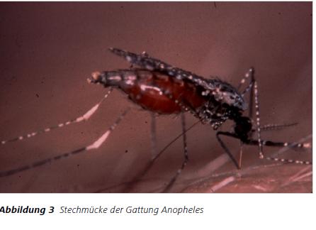 Abbildung3 Stechmücke der Gattung Anopheles